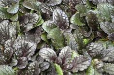 ajuga reptans purple brocade Evergreen Groundcover, Cabbage, Vegetables, Purple, Plants, Google Search, Cabbages, Vegetable Recipes, Plant