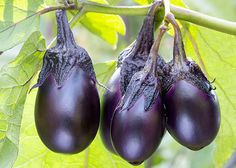 The Power of Purple is a Top Gardening Trend found on Pinterest. Get it in your own back yard by planting eggplant this spring. Read more spring trends at The Home Depot's Garden Club.