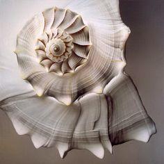 Gorgeous spiral of sea life. Foto Macro, Fibonacci Spiral, Ivy House, Patterns In Nature, Sacred Geometry, Geometry Art, Sea Creatures, Natural World, Sea Shells