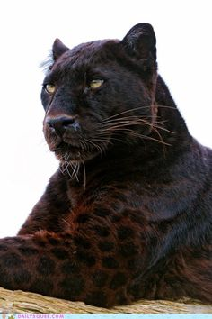 Majestic Dark Spotted Coat on a panther
