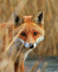Cute little red fox