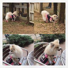 今日は、ココと成田ゆめ牧場へ🐶💕 靴もコートも泥だらけ💦 #petdog #dog #pomeranian #narita #dogpark #愛犬 #ポメラニアン #ポメ #ドッグラン #成田ゆめ牧場