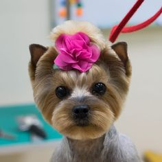"""Obtain excellent pointers on """"yorkshire terrier puppies"""". They are actually offered for you on our website. Toy Yorkshire Terrier, Yorkshire Terrier Haircut, Yorkie Cuts, Yorkie Haircuts, Creative Grooming, Bulldog Breeds, Yorky, Most Popular Dog Breeds, Yorkie Puppy"""