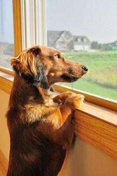 Red Long-Haired Miniature Dachshund, looking out the window