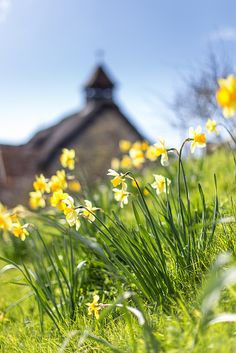 Daffodils in Springtime at St Agnes Church, Freshwater Bay, Isle of Wight by s0ulsurfing on Flickr.