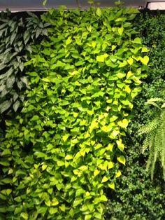 Pflanzenwand des Conscious Hotel mit Efeutute