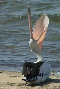 Wide-open Pelican