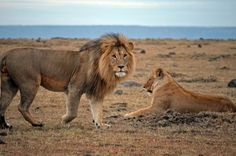 African Lions, African Lion Pictures, African Lion Facts, African Cats - National Geographic