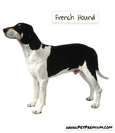 If you are looking for a steadfast, brave dog, you don't need to look any further than the French Hound. These dogs have an affection for humans and do well in active families. A responsibly-bred French Hound will get along with all members of the family and readily accept other pets in the household. Care should be taken with small pets and children as this hound is large and fast.