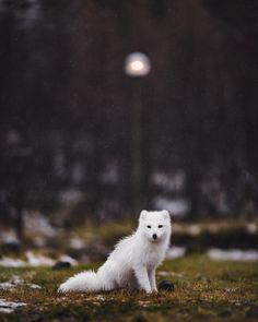 Arctic Fox by © jarradseng Volcano Huts in Thorsmork, Iceland