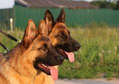 german shepherd loyal friend | German shepherds, best friend, cute, dog, german shepherd
