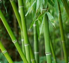 Have to have bamboo.  Be sure it's a clumping variety . . .