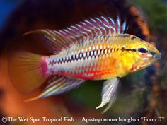 Tropical Fish and Tropical Fish Care Ocean Aquarium, Saltwater Aquarium Fish, Betta Aquarium, Tropical Fish Aquarium, Tropical Freshwater Fish, Freshwater Aquarium Fish, Beautiful Tropical Fish, Beautiful Fish, South American Cichlids
