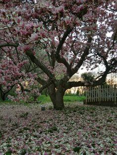 Pink magnolia tree at Elk Forge.
