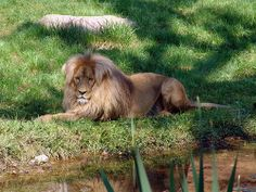 Southwest African or Katanga lion (panthera leo bleyenberghi) in the zoo at Leipzig, Germany - photo by Joachim S. Müller, via Flickr;  This lion lives in southwestern Africa:  Namibia, Botswana, Angola, Katanga (Democratic Republic of the Congo), Zambia, and Zimbabwe. The males tend to have manes that are lighter in color than lions of other subspecies.  Males weigh 310-530 pounds, and 8-10 feet long including the tail.
