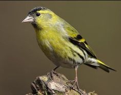 Siskin (Spinus spinus) male Siskin, Photography Projects, Bird Feeders, Yellow Birds, Lugano, Animals, Birds, Animales, Animaux