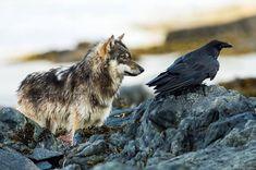 "acanthis-eburnea: "" Northwest Coastal wolf, ""sea wolf,"" and raven in the Great Bear Rainforest of British Columbia Via Pinterest """