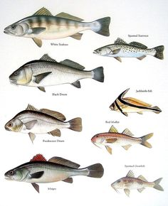 1000 images about fish chart on pinterest freshwater for Black drum fishing