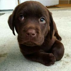 """Check out our internet site for additional details on """"Labrador Retriever dogs"""". It is actually an outstanding location for more information. Super Cute Puppies, Cute Baby Dogs, Cute Little Puppies, Cute Dogs And Puppies, Cute Little Animals, Cute Funny Animals, Doggies, Perro Labrador Chocolate, Chocolate Lab Puppies"""
