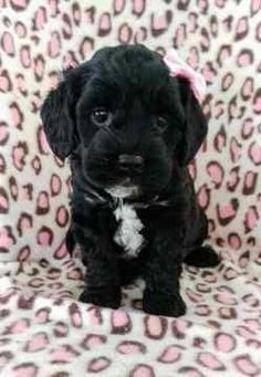 19 Best Cockapoo Love images in 2018 | Cockapoo, Dogs, Puppies