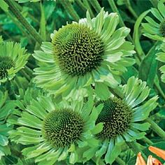 Green Jewel Coneflower.  Echinacea.  For more on using colors effectively in planting design - check this out:  http://www.my-garden-school.com/course/designing-with-plants/