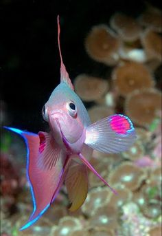 ˚Anthias Fish