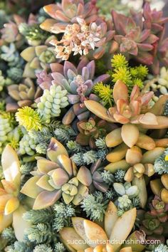 Mix of Sedums - Succulents and Sunshine