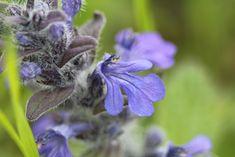 Bugle de Genève Lamiaceae