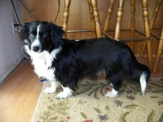 Borgi= Border Collie + Corgi!!!  This is the mix that our Ella is. She is a great dog!