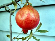 Pomegranates for cold climate | Trees of Joy