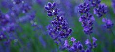 Reines ätherisches Lavendelöl: Heilwirkung und Duft der wichtigsten Lavendelöle. Anwendung, Qualität und Tipps zum Kaufen und Selber machen.
