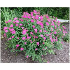 Check out the deal on Anthony Waterer Spirea - Potted Plants at Growers Solution Garden Shrubs, Flowering Shrubs, Trees And Shrubs, Garden Plants, Potted Plants, Privacy Landscaping, Modern Landscaping, Landscaping Ideas, Magic Carpet Spirea