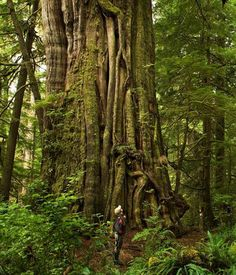 Cathedral Grove near Parksville Qualicum Beach on Vancouver Island
