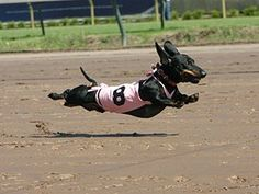 Little known fact... weiner dogs CAN fly!!  Please follow our Pet Health & Safety Board! -HamCoHealth