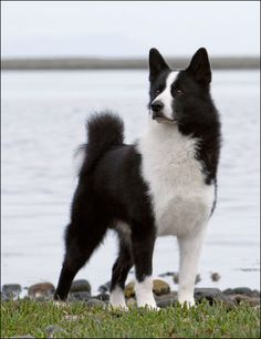 Karelian Bear Dog: solitary, stubborn, but excellent--single owner
