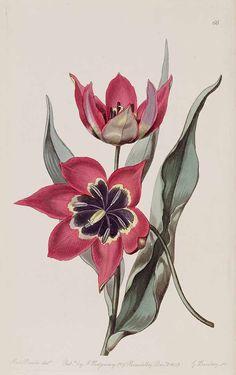 35303 Tulipa agenensis DC. [as Tulipa maleolens Reboul] / Edwards's Botanical Register, vol. 25: t. 66 (1839) [S.A. Drake]