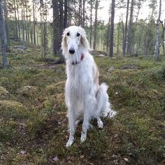 Cheap Dog Grooming Near Me Russian Wolfhound, Irish Wolfhound, Pyrenean Mastiff, Saarloos, Most Beautiful Dogs, What Dogs, Dog Walking, Dog Pictures, Dogs And Puppies