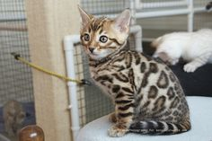 bengal kitten... look at those spots <3