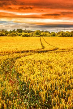 Golden Fields, fields are amazing they are just gorgeous even if they are plain jane