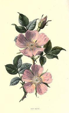 Wild rose tattoo idea