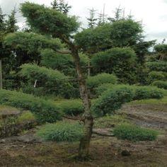 Juniperus virg. 'Grey Owl' Acheter Vos Arbres chez le spécialiste du Jardin Zen français . ART Garden www.art-garden.fr