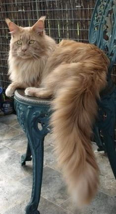 Vinnie Barbarino -- Gorgeous Champion Maine Coon http://www.mainecoonguide.com/how-to-tell-if-a-kitten-is-a-maine-coon/