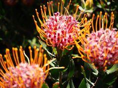 la-saison-des-fleurs-au-cap-afrique-du-sud-jardins-botaniques-de-kirstenbosch-blog-voyage Travel Pics, Travel Pictures, Sud Est, La Pointe, Table Mountain, Blog Voyage, Flower Show, Cape Town, Wild Flowers
