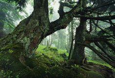 """naturespiritheart: """" Ancient Fir Trees In Forest by Norbert Rosing (leave credit) """""""