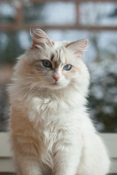 Kot Syberyjski w odmianie kolorystycznej Neva Masquerade