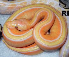 Lavender Albino Stripe Ball Python