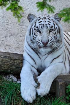 Tigers, like most big cats, cannot purr. Cute Baby Animals, Animals And Pets, Funny Animals, Nature Animals, Wild Animals, Animals Images, Funny Cats, Big Cats, Cats And Kittens