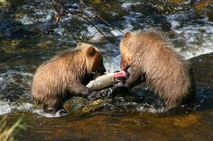 Grizzly Bear Cubs feeding on Salmon in Knight Inlet, British Columbia, Canada.