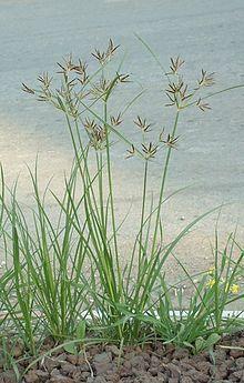 Junça/Tiririca - Cyperus esculentus e Cyperus rotundus Ayurveda, Jade, Florida Plants, Weed Control, Edible Plants, Ornamental Grasses, Medicinal Herbs, Good Healthy Recipes, Weed