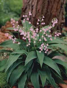 Pink Lily of the Valley. I have never seen pink lily of the valley! I'm going to be on the look-out for some to buy! Shade Garden, Garden Plants, Pink Flowers, Beautiful Flowers, Pink Lily, My Secret Garden, Shade Plants, Lily Of The Valley, Dream Garden